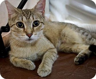 Abyssinian Cat for adoption in Wauconda, Illinois - Kentucky