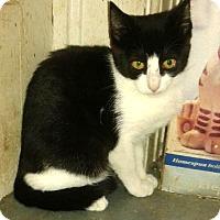 Domestic Shorthair Kitten for adoption in Valhalla, New York - CUPCAKE KITTEN
