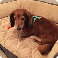 Adopt A Pet :: CARAMEL MACCHIOTA (Caramel) - Portland, OR