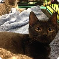 Adopt A Pet :: Brielle - Jenkintown, PA
