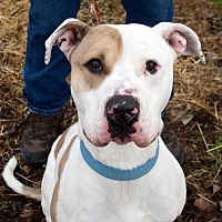 American Bulldog/Hound (Unknown Type) Mix Dog for adoption in Fort Madison, Iowa - Luca