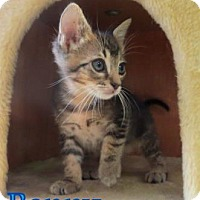 Domestic Shorthair Kitten for adoption in Georgetown, South Carolina - Benny