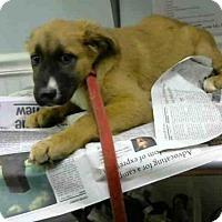 Adopt A Pet :: BROWNIE - Atlanta, GA