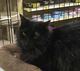 Domestic Longhair Cat for adoption in Las Vegas, Nevada - Midnight