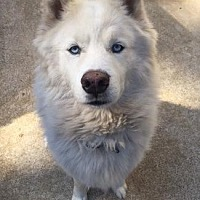 Samoyed/Siberian Husky Mix Dog for adoption in Pt. Richmond, California - SNOW KITTY