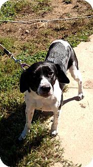 Beagle/Labrador Retriever Mix Dog for adoption in Benton, Pennsylvania - Naveah