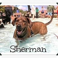 Adopt A Pet :: Sherman - Denver, CO