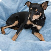 Miniature Pinscher Mix Puppy for adoption in Palm Harbor, Florida - Finch