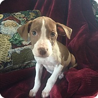 Adopt A Pet :: Brownie - Colonial Heights, VA