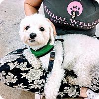 Adopt A Pet :: Biggie - Marina del Rey, CA