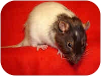Rat for adoption in Winner, South Dakota - Bandit