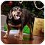 Photo 3 - Beagle/Cocker Spaniel Mix Dog for adoption in Owensboro, Kentucky - Zeus
