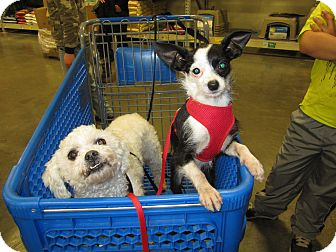 Terrier (Unknown Type, Small) Mix Dog for adoption in Bellingham, Washington - Fae and Dia