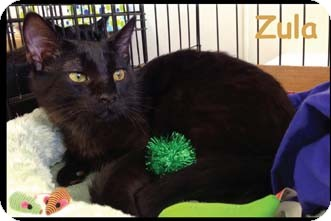 Domestic Shorthair Kitten for adoption in Merrifield, Virginia - Zula