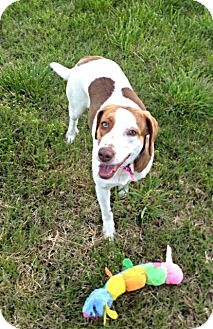 Setter (Unknown Type)/Beagle Mix Dog for adoption in Marietta, Georgia - Charlotte