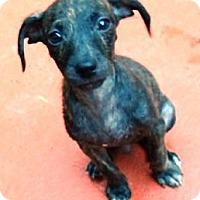 Adopt A Pet :: Joey JoJo - Brattleboro, VT