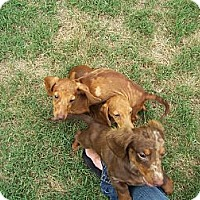 Adopt A Pet :: Mini Doxies 1,2 and 3 - Lexington, TN