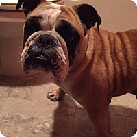 Adopt A Pet :: Holly Holiday - Park Ridge, IL