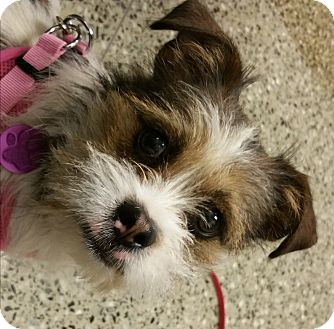 brussels griffon shih tzu mix omelette adopted dog 16 1 001 west dundee il 2248
