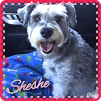 Adopt A Pet :: SheShe~~ADOPTION PENDING - Sharonville, OH