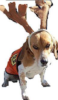 Beagle/Basset Hound Mix Dog for adoption in Loudoun County, Virginia - Freckles