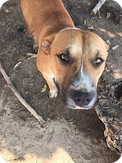 Labrador Retriever/Boxer Mix Dog for adoption in Fresno, California - Hunter