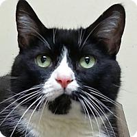 Domestic Shorthair Cat for adoption in Norwalk, Connecticut - Morita
