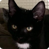 Domestic Shorthair Kitten for adoption in Franklin, West Virginia - Lincoln