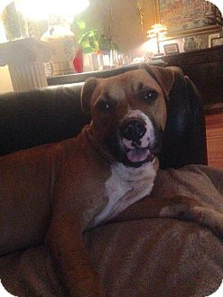 Boxer/Terrier (Unknown Type, Small) Mix Dog for adoption in Raleigh, North Carolina - Bud / Buddy