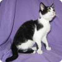 Domestic Shorthair Cat for adoption in Powell, Ohio - Sailor