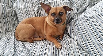Chihuahua Mix Dog for adoption in Richmond, Virginia - Jack