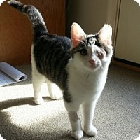 Domestic Shorthair Kitten for adoption in Waldorf, Maryland - Mickey
