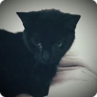 Domestic Shorthair Kitten for adoption in Trevose, Pennsylvania - Nitro