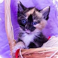 Domestic Shorthair Kitten for adoption in Leesburg, Florida - Bambi