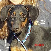 Adopt A Pet :: Bella (25 lb) Fun, Sweet, Girl - Niagara Falls, NY