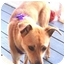 Photo 2 - Jack Russell Terrier/Miniature Pinscher Mix Dog for adoption in Summerville, South Carolina - Bonnie