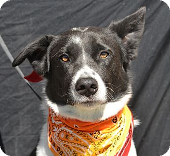 Border Collie Mix Dog for adoption in Plano, Texas - Cowboy