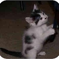 Adopt A Pet :: Heifer - Davis, CA