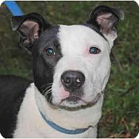 Adopt A Pet :: BONZO - Sacramento, CA