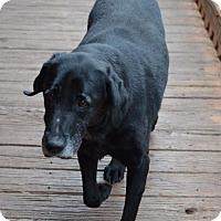 Labrador Retriever Dog for adoption in Temple, Georgia - Katie