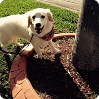 Adopt A Pet :: Snowball - Coral Springs, FL