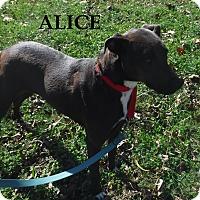Adopt A Pet :: Alice - Batesville, AR