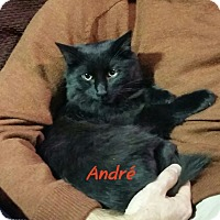 Domestic Longhair Cat for adoption in Levittown, New York - Andre