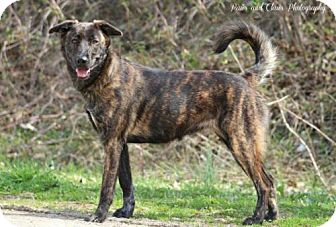Mountain Cur Mix Dog for adoption in Munford, Tennessee - Skylar