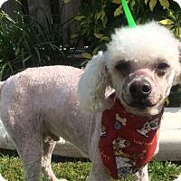 Adopt A Pet :: BACON - Fort Pierce, FL