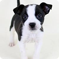 Adopt A Pet :: Andy - Bloomington, MN