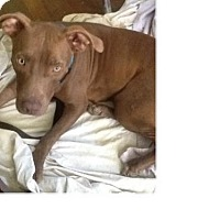 American Pit Bull Terrier Dog for adoption in Von Ormy, Texas - Clementine