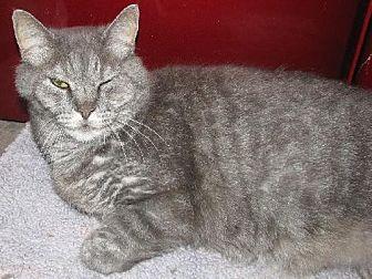 Domestic Shorthair Cat for adoption in Fort Walton Beach, Florida - Jb