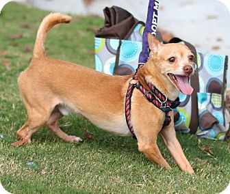 Chihuahua Mix Dog for adoption in Alpharetta, Georgia - Ivan