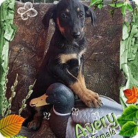 Adopt A Pet :: Avery meet me 10/21 - Manchester, CT